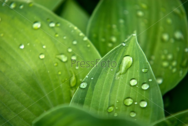 Leafs in a dew