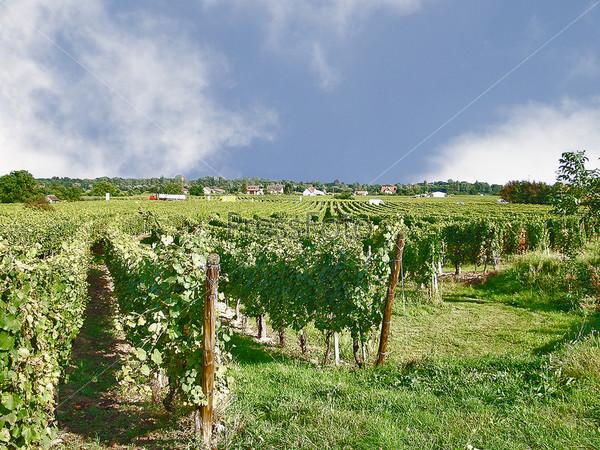Виноградники Эльзаса. Франция