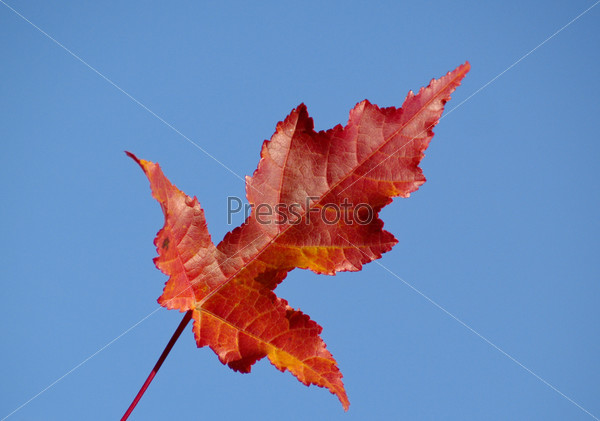 Autumn leaf of a maple