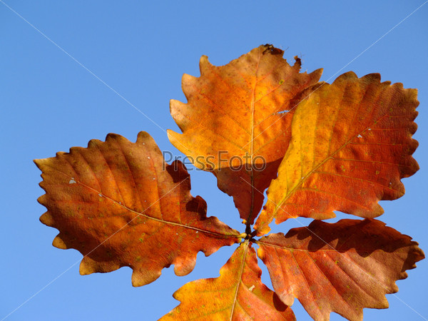 Autumn leaves of an oak