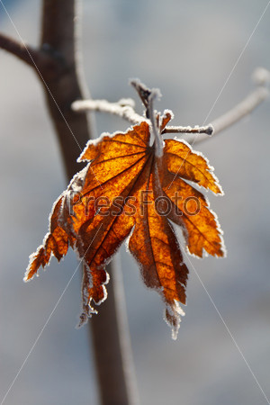 frost on the leaves of maple