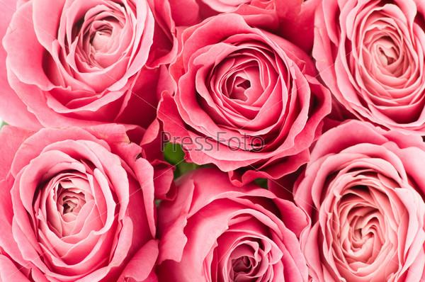 Бутоны розовых роз