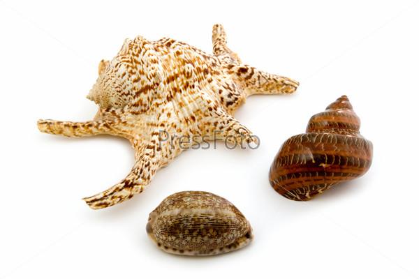 marine seashell on white