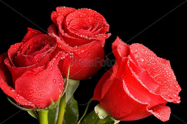 красные розы фото красивые