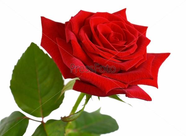 роза картинка на белом фоне