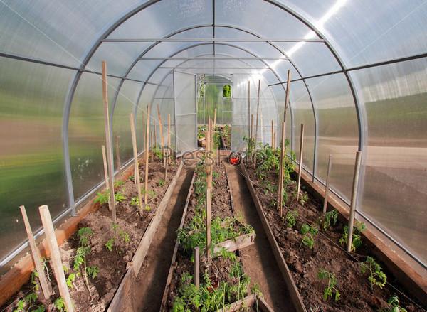 Выращивание помидоров в теплице из поликарбоната:…