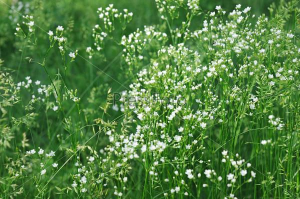 Полевые цветы белые мелкие