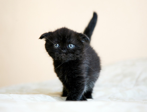 черный вислоухий кот фото
