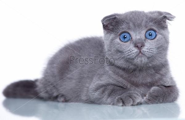 котёнок с голубыми глазами фото