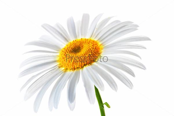 картинка ромашки на белом фоне