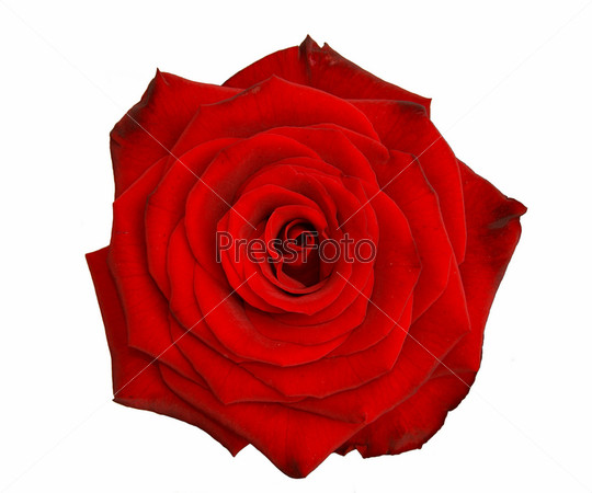картинки роза на белом фоне