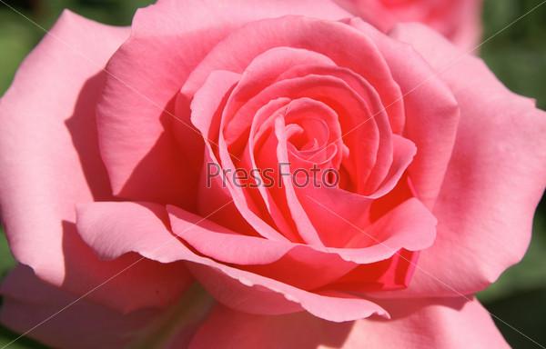 Розовая роза крупным планом
