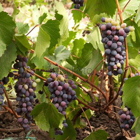 Фотография на тему Грозди винограда