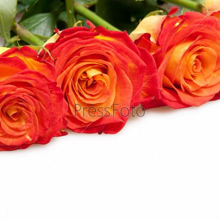 Прекрасные розы, изолированные на белом фоне