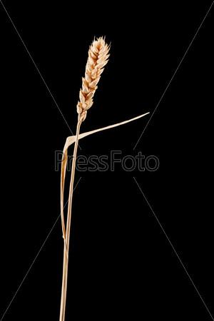 Колос пшеницы, изолированный на черном фоне