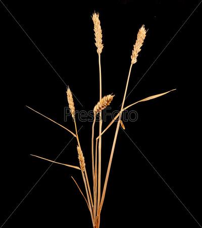 Колосья пшеницы, изолированные на черном фоне