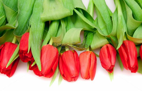 Красные тюльпаны, изолированные на белом фоне