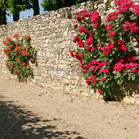 Розы в Вилландри, Франция