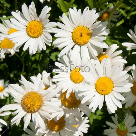 Фотография на тему Белые ромашки