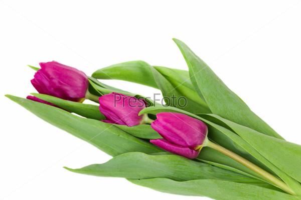 Свежие фиолетовые тюльпаны, изолированные на белом фоне