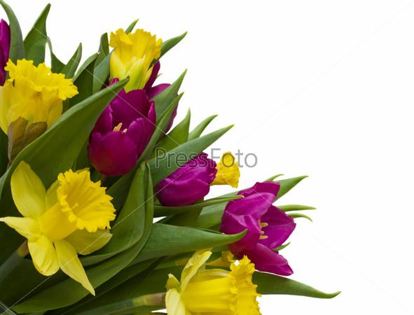 Фотография на тему Букет тюльпанов и нарциссов, изолированный на белом фоне