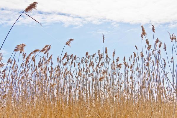 Сухой тростник на фоне весеннего голубого неба