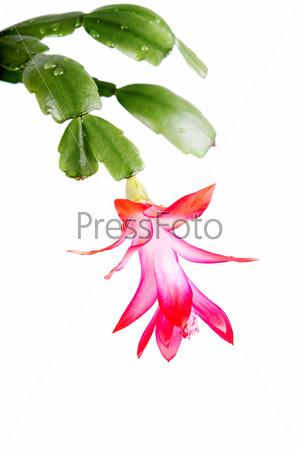 Домашнее растение зигокактус на белом фоне