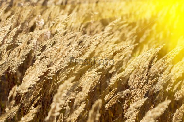 Фотография на тему Сухая трава вейник наземный, calamagrostis,в лучах заходящего солнца