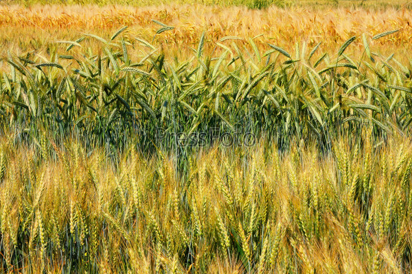 Различные сорта пшеницы на поле