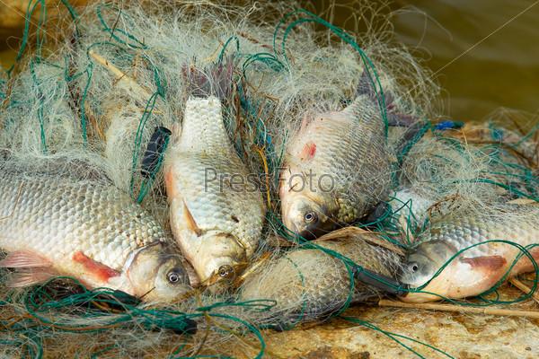 Свежий карп в рыболовной сети