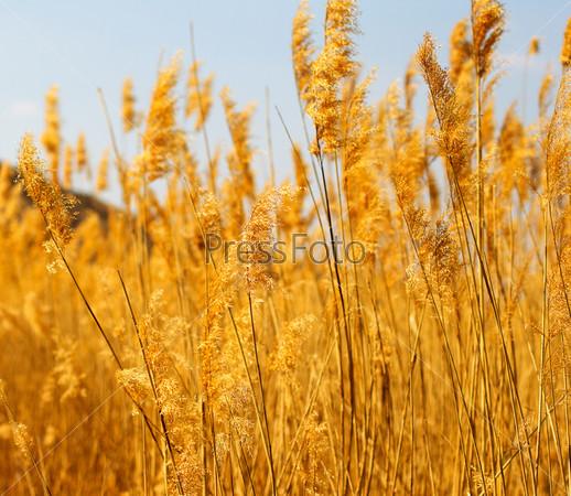 Заросли тростника в ясный ветреный день