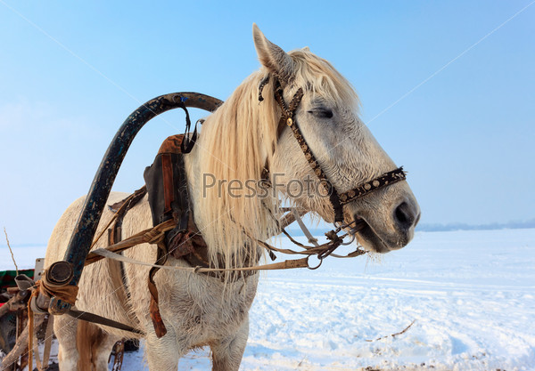 Запряженная белая лошадь зимой