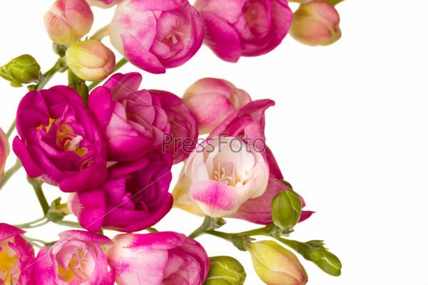 Розовые фрезии, изолированные на белом фоне