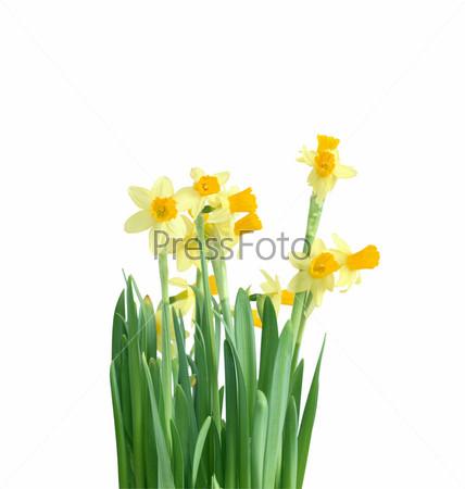 Фотография на тему Нарциссы, изолированные на белом фоне с обтравочным контуром