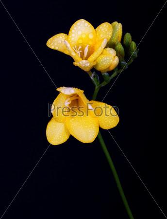 Желтая фрезия, изолированная на черном фоне