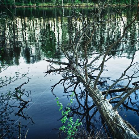 Мертвое сухое дерево, склонившееся над озером