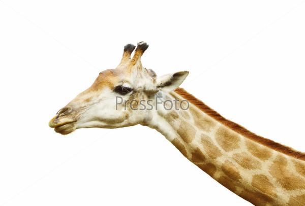 Голова жирафа, изолированная на белом фоне