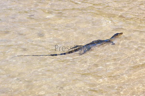 Фотография на тему Дикий полосатый варан плывет в море