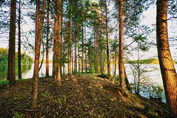 Сосновый лес ранним летним утром
