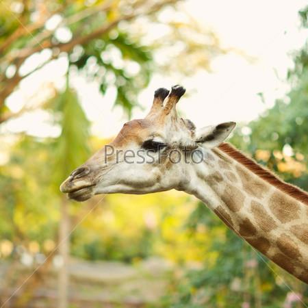 Фотография на тему Голова жирафа в дикой природе