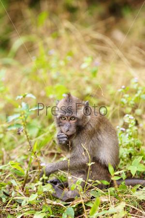 Фотография на тему Макака сидит в траве и ест листья