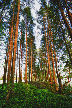 Сосновый лес летним ранним утром