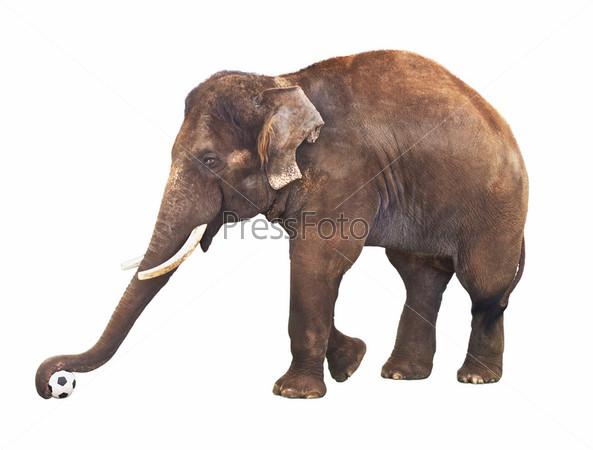 Слон с футбольным мячом, изолированный на белом фоне