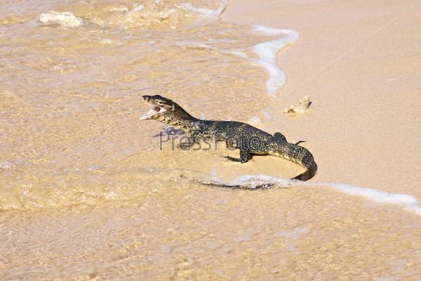 Полосатый варан, varanus salvator, на пляже