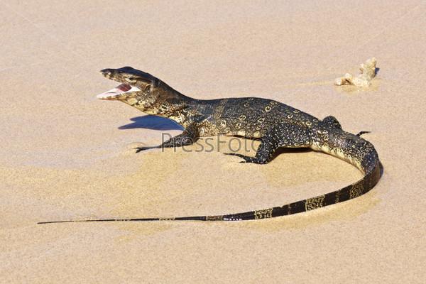 Фотография на тему Полосатый варан, varanus salvator, на пляже