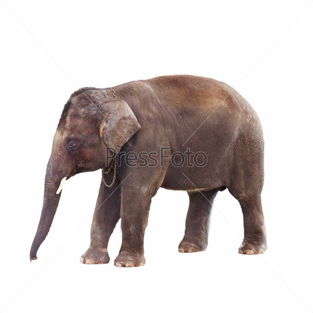Фотография на тему Коричневый индийский слон, изолированный на белом фоне