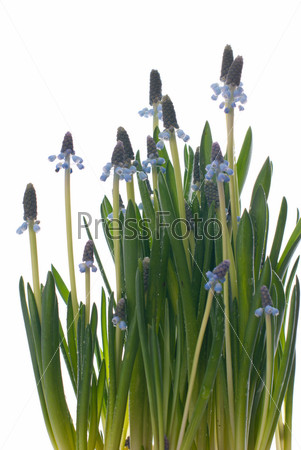 Фотография на тему Весенние цветы на белом фоне