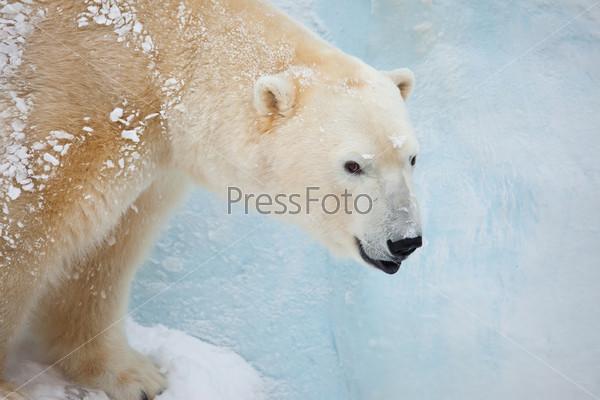 Фотография на тему Белый медведь