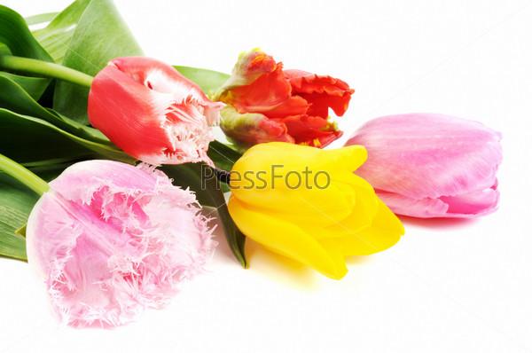 Фотография на тему Весенние тюльпаны крупным планом, изолированные на белом фоне