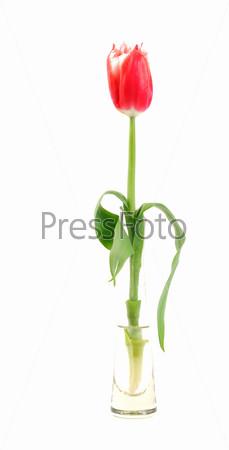 Фотография на тему Весенний тюльпан крупным планом, изолированный на белом фоне